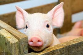 生猪现货价格连跌近5个月,累计跌幅超50%!