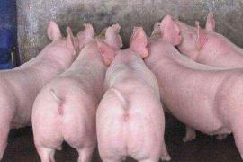 国内商品期货收盘,生猪跌超4%续创历史新低